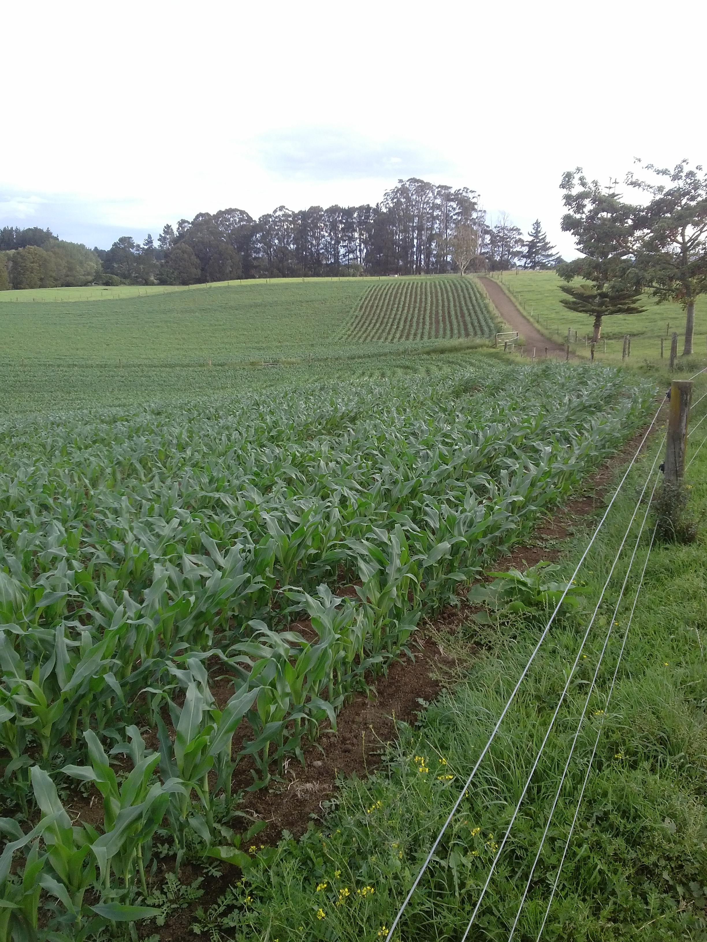 Maize on farm 2014