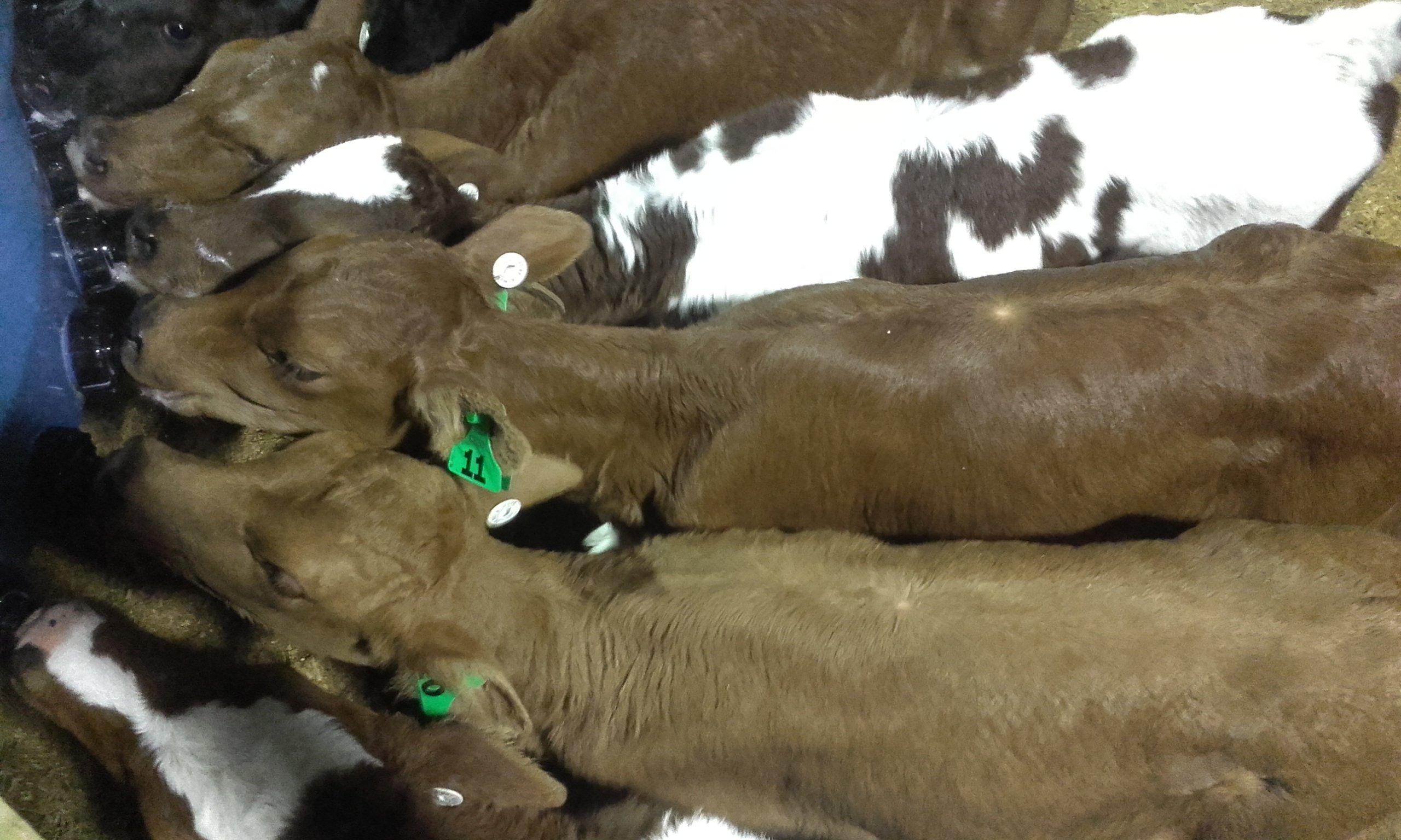 JVG calves2