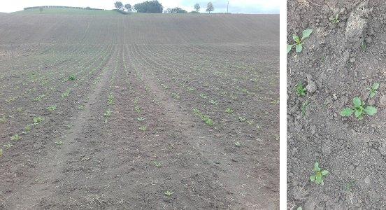 JVG fodder beet seedlings3
