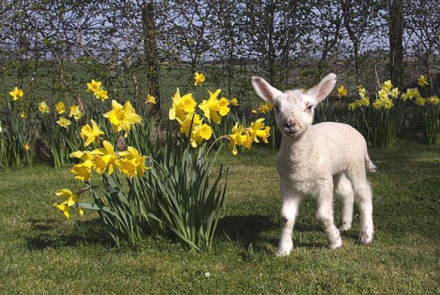 NR spring lamb