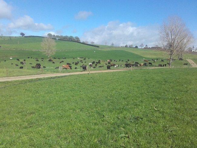JVG cows Oct17a